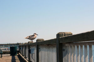 seagull looking out at the Jorgensen Pier