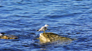 Seagull in washington at Blaine by the Sea